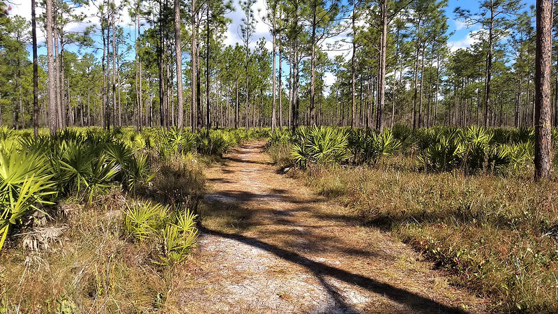 Trail through longleaf pines