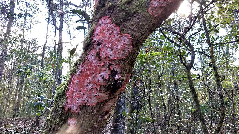 Up close red lichen on tree limb