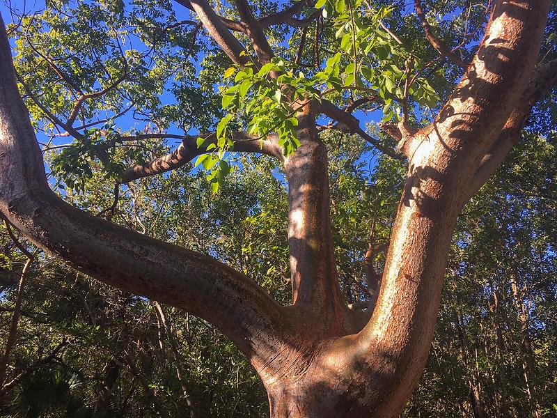 gumbo limbo trunk