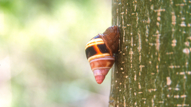 Liguus snail