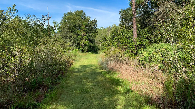 Grassy path between pines