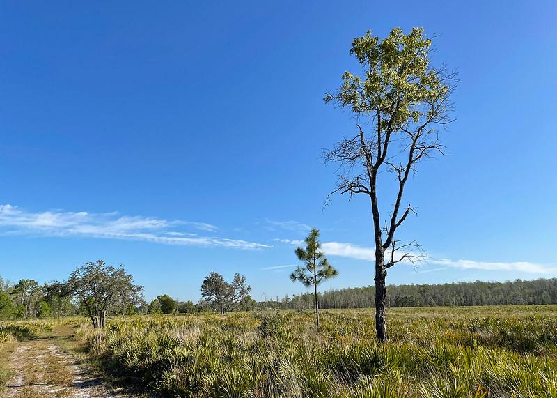 Lone turkey oak in prairie
