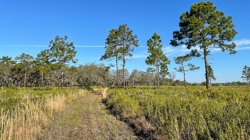 Trail past longleaf pines