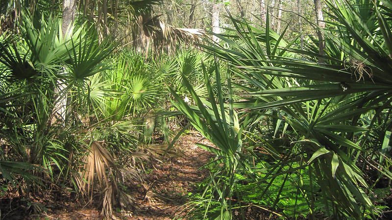 Saw palmetto at face level