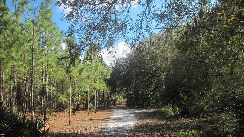 White sand path alongside pines