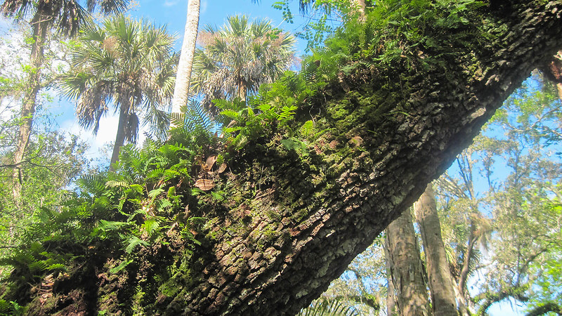 Ferns on a live oak trunk with palms beyond