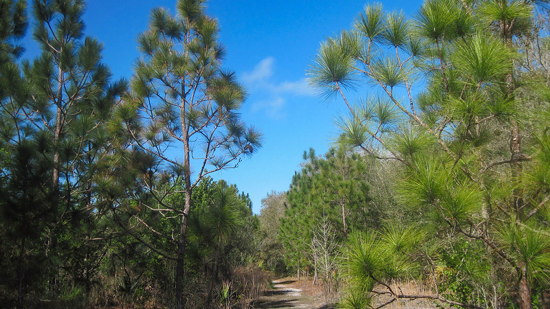 Trail through young longleaf pines
