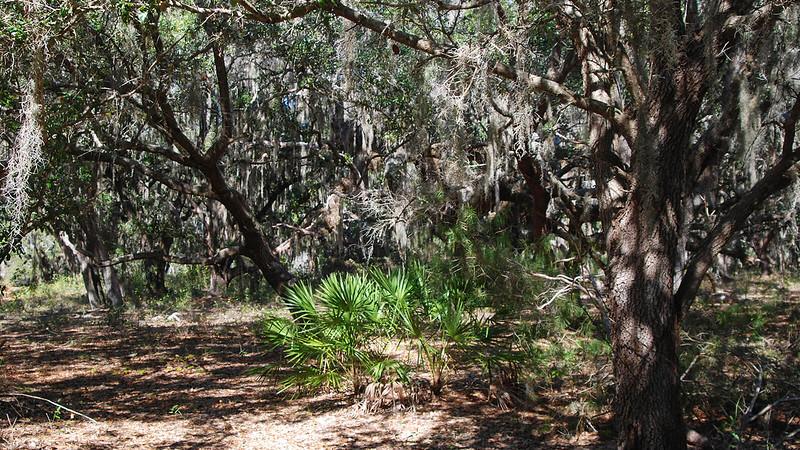 Saw palmetto under the oaks