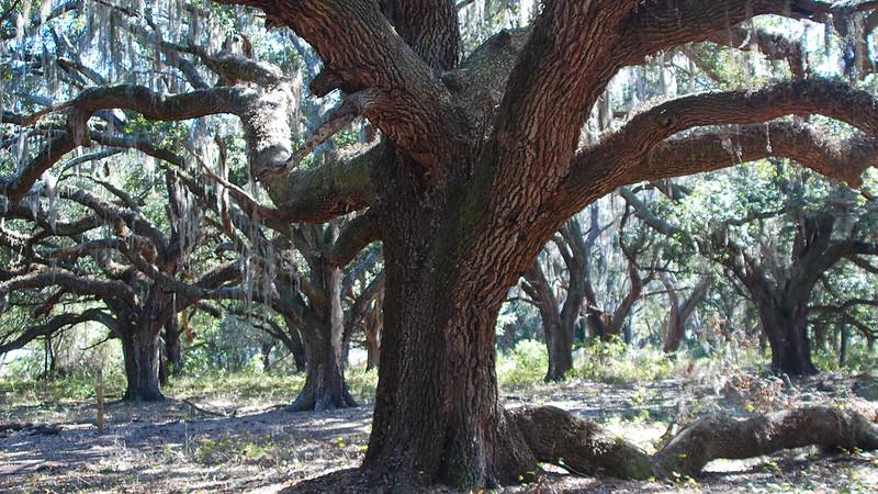Enormous live oaks