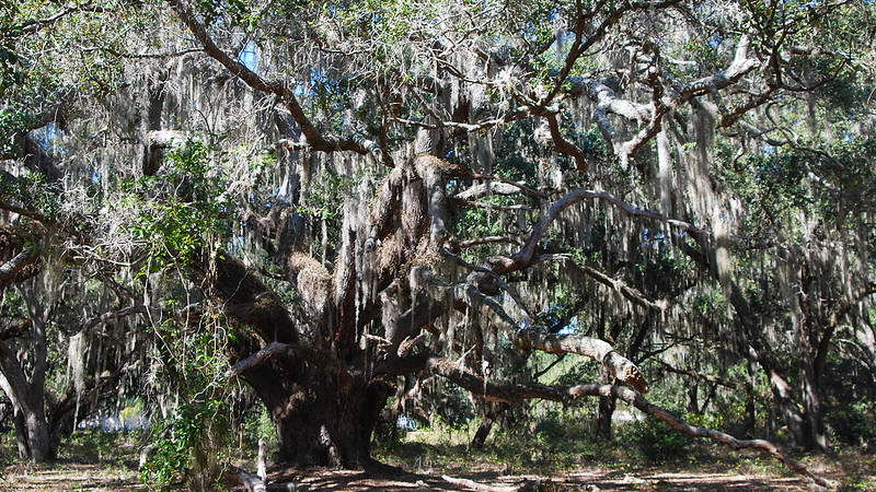 Thick-trunked live oak