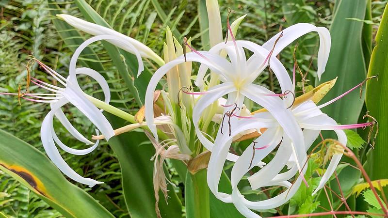 Swamp lily blossom