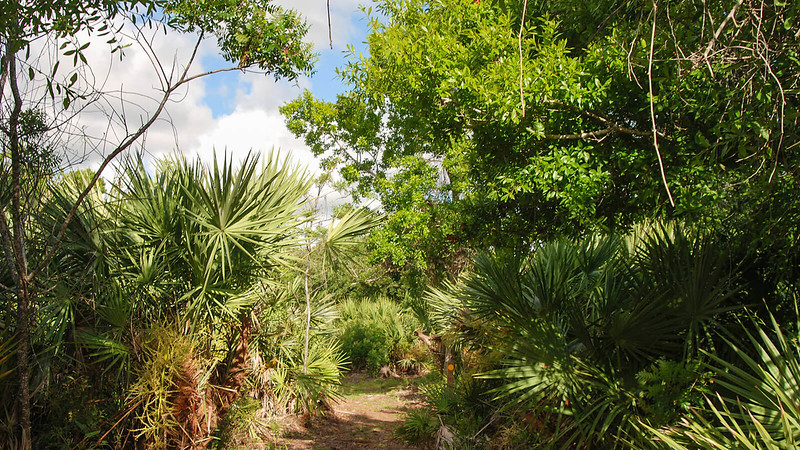 Large saw palmetto overhanging trail