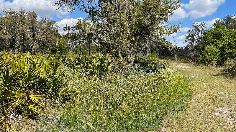 Grasses in front of saw palmetto