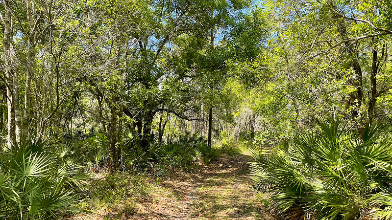 Trail in oaks and saw palmetto