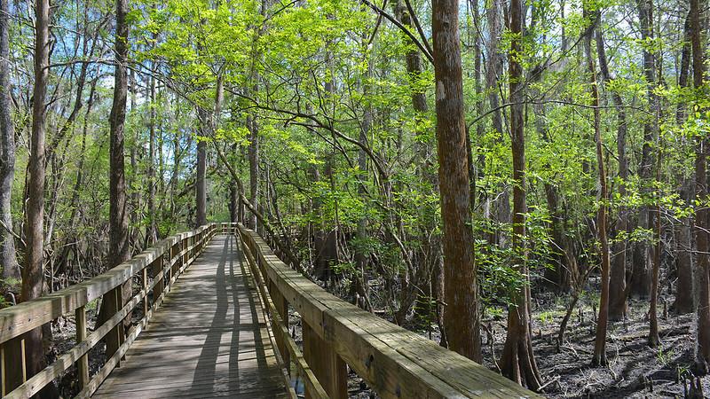 Boardwalk in swamp forest