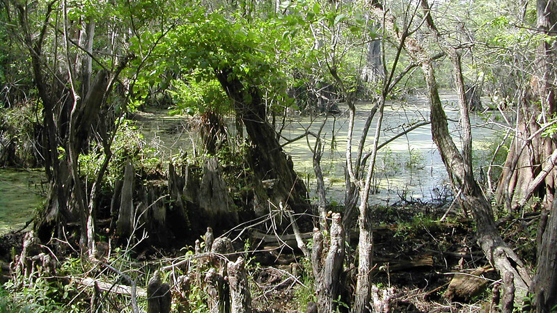 Pond with cypress  knees and stumps and coating of duckweed