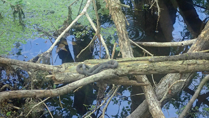 Two water snakes on logs