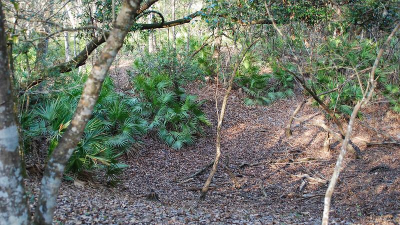 Palmettos in depression in forest