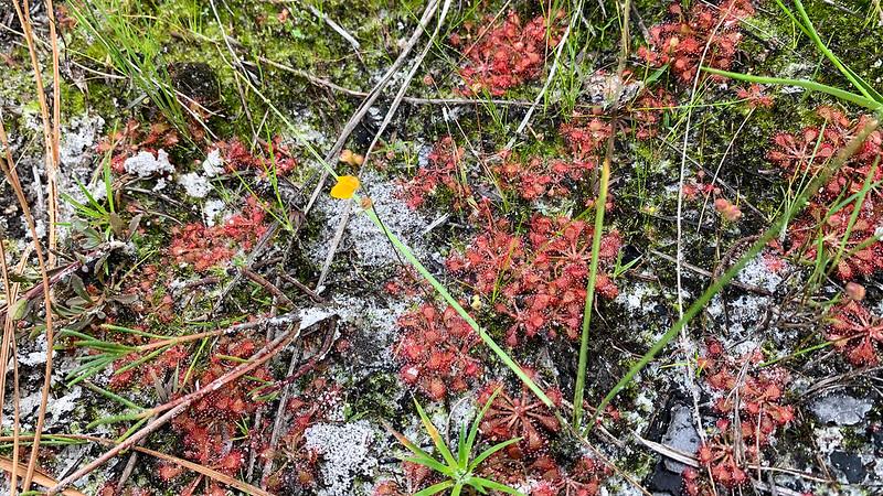 Multiple sundew and a single bladderwort blossom