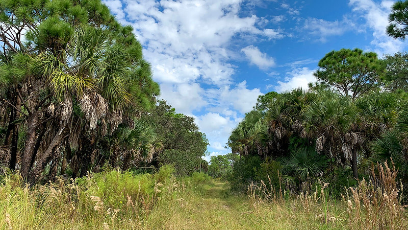 Cabbage palms and pines line trail