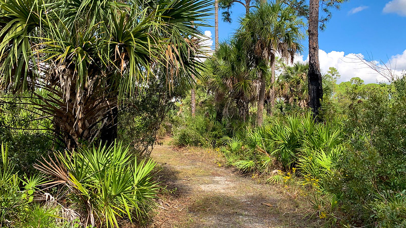 Cabbage palms under pines edging a footpath