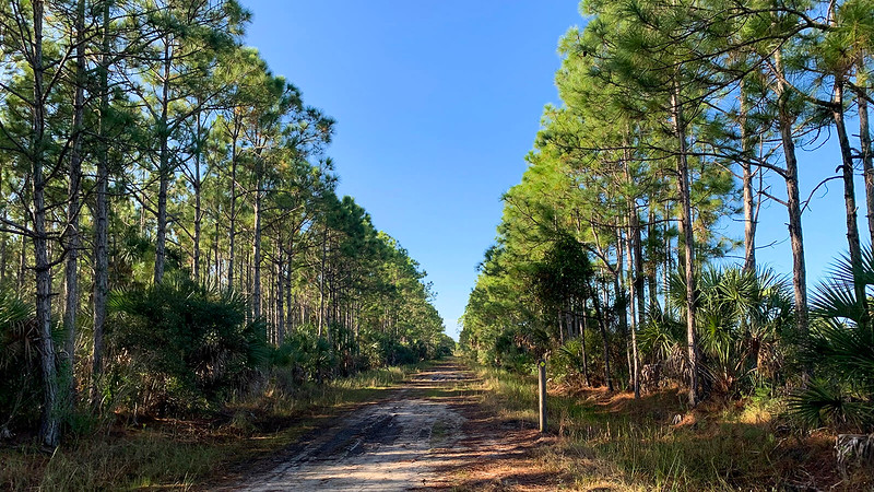 Pines line a broad forest road