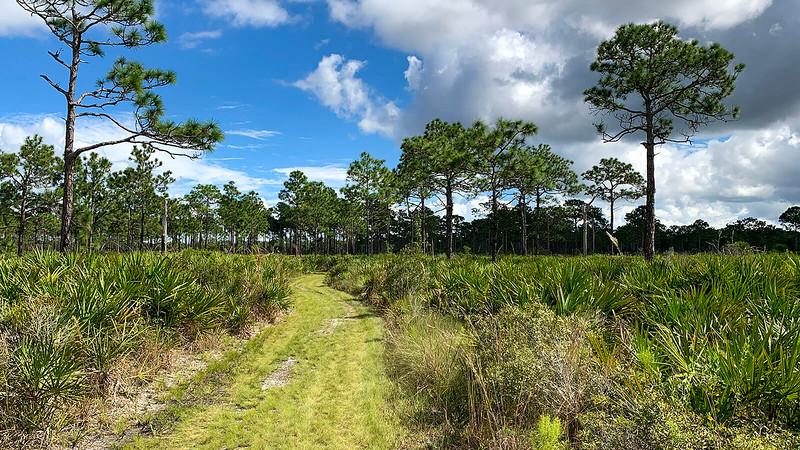 Grassy path through palmettos