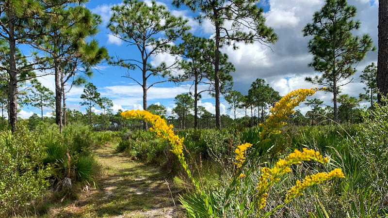 Tall goldenrod blooms along a well-defined pathway