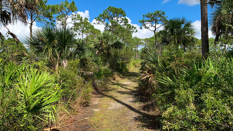 Dense scrub underbrush and palms line trail under pines