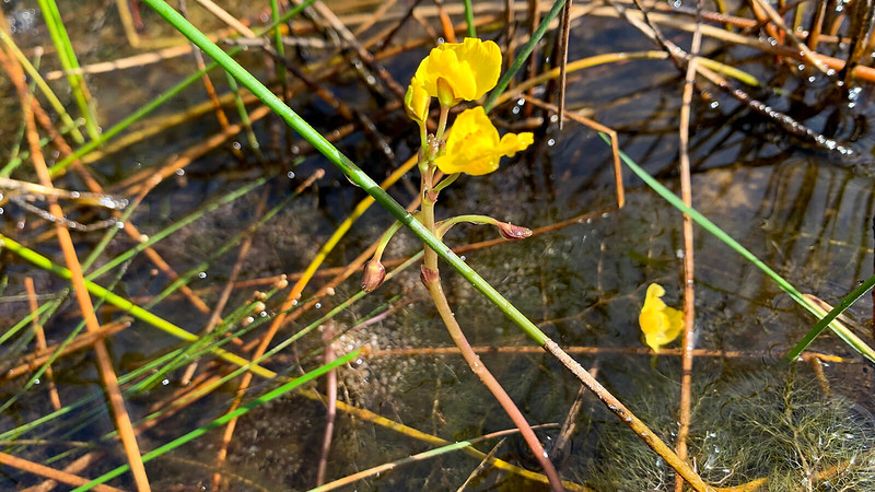 Bladderwort flower rising above its insect-trapping bladders