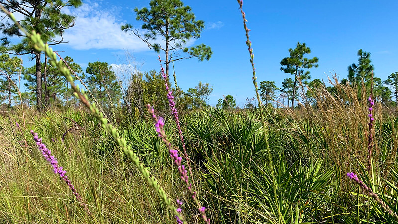 Blooms of blazing star in pine flatwoods