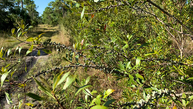 Wax myrtle with berries extending over trail