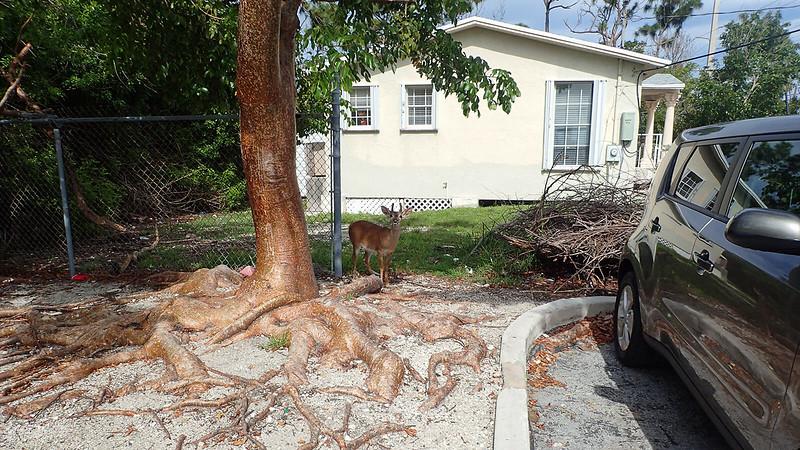 Key deer under gumbo limbo