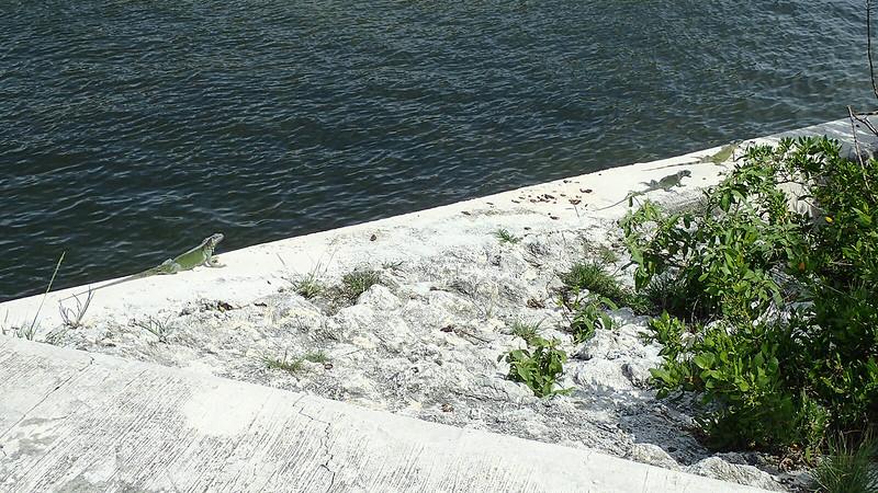 Iguanas sunning on a seawall