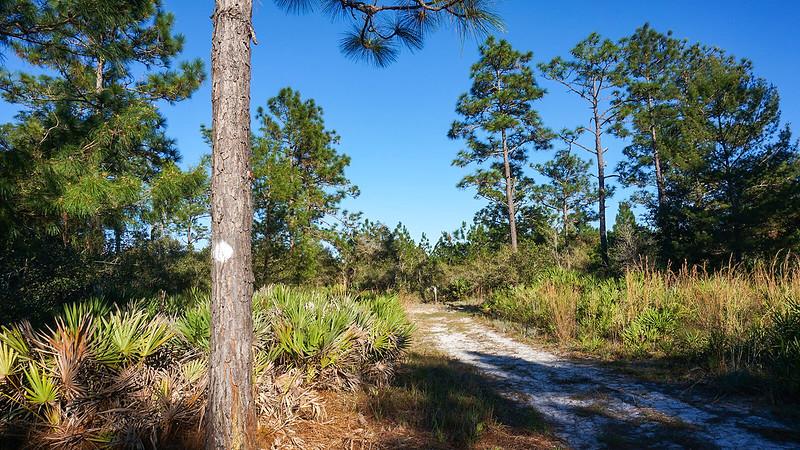White diamond on pine tree and sandy road