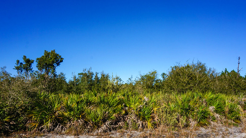 Line of saw palmetto and scrub forest