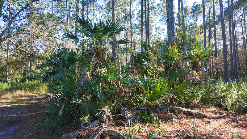 Large saw palmetto cluster