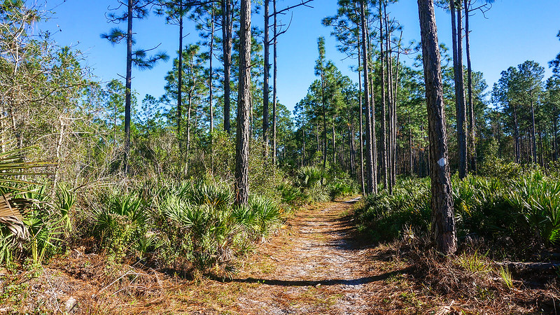 White diamond on pine tree and path into pine woods