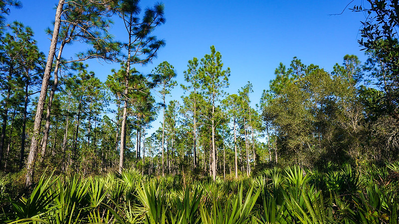 Pines rising over saw palmetto