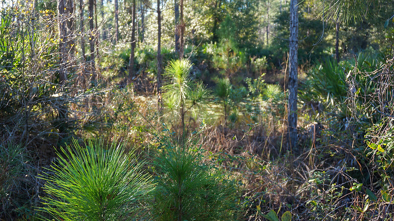 Pond behind young longleaf pines