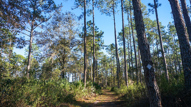 Forest road in pine forest