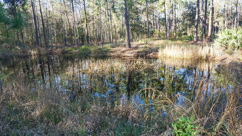 Pond reflecting pine trees
