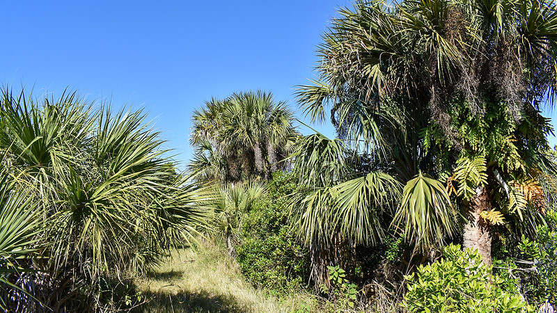 Cabbage palms and grassy path