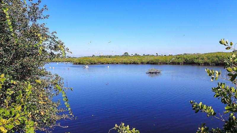White pelican flocks on pond