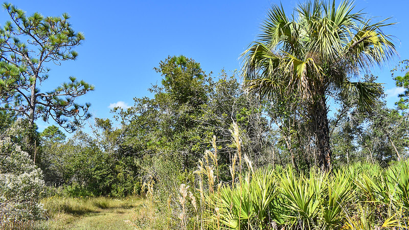 Cabbage palm above saw palmetto alongside trail