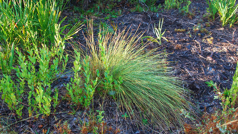 Grass stage longleaf pine looks like green wiregrass