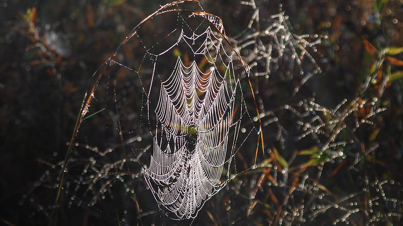 Spider web glowing in morning sun