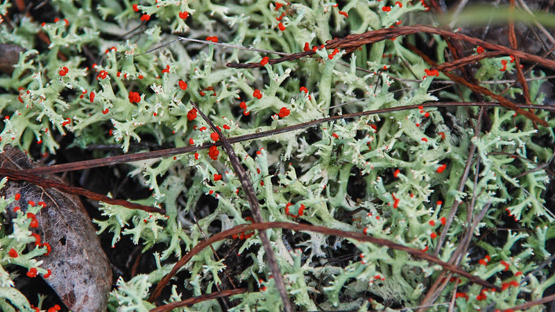 Red-tipped green lichen