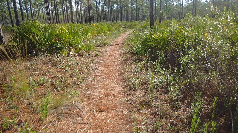 Pine needles on narrow trail in pine flatwoods