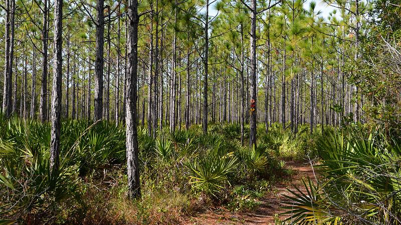 Dense planted pines